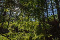 反对光亮的太阳的槭树 轻的影子 在森林里 免版税库存照片