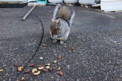 反对具体背景的灰鼠吃坚果的 免版税图库摄影