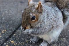 反对具体背景的灰鼠吃坚果的 免版税库存照片