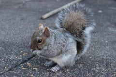 反对具体背景的灰鼠吃坚果的 免版税库存图片