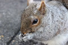 反对具体背景的灰鼠吃坚果的 库存照片