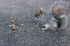 反对具体背景的灰鼠吃坚果的 图库摄影
