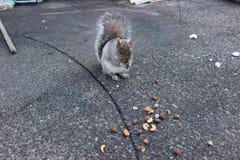 反对具体背景的灰鼠吃坚果的 库存图片