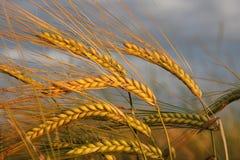 反对剧烈的云彩的金黄大麦耳朵 免版税库存图片