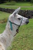 反对印加人废墟的骆马剪影在昆卡省,厄瓜多尔 免版税库存图片