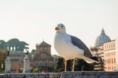 反对台伯河堤防,罗马,意大利的一只海鸥 免版税图库摄影