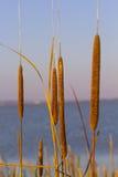 反对在蓝天的背景的香蒲和湖 库存图片