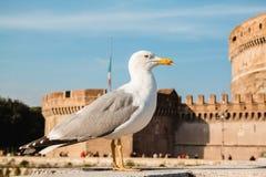 反对城堡Sant `安吉洛,罗马,意大利的一只海鸥 库存图片