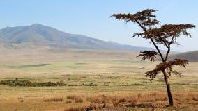 反对塞伦盖蒂国家公园美好的背景的树  图库摄影