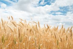 反对多云天空的大麦耳朵 免版税图库摄影