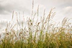 反对多云天空的开花的草 免版税库存图片
