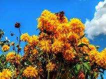 反对多云天空背景的黄色花 免版税库存照片