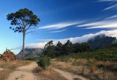 反对天空和表山的杉树在开普敦 免版税库存图片