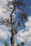 反对天空的一棵老凋枯的树与云彩 免版税库存照片