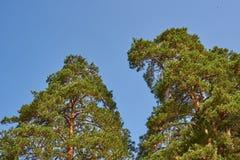 反对天空的两棵杉木 免版税库存照片