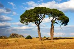 反对天空的两棵杉树在日落 免版税图库摄影