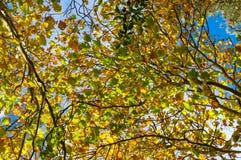 反对天空的五颜六色的秋叶在背景 秋天叶片 免版税图库摄影