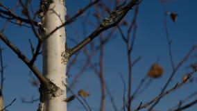 反对天空的俄国桦树 免版税库存照片