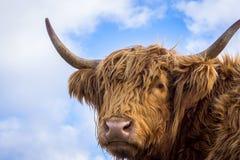 反对天空的布朗长的头发高地母牛 免版税库存照片