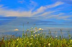 反对天空的开花的夏天草地早熟禾 免版税库存图片