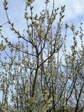 反对天空的开花的杨柳 库存图片