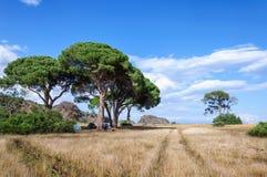反对天空的杉树在日落 免版税库存照片