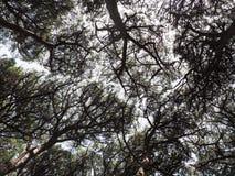 反对天空的杉树 免版税图库摄影