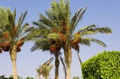 反对天空的枣椰子 图库摄影