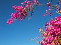 反对天空的桃红色九重葛花 免版税库存图片