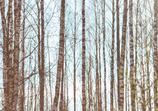 反对天空的桦树树干 库存照片