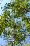 反对天空的桦树 库存图片