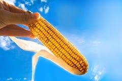 反对天空的玉米 免版税库存照片