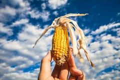 反对天空的玉米 免版税库存图片
