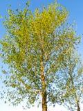 反对天空的白杨树 库存照片