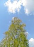 反对天空的白杨树 免版税库存图片