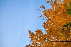 反对天空的秋天黄色树 库存图片