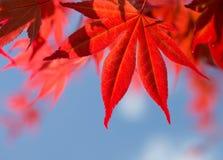 反对天空的红槭叶子 免版税库存图片