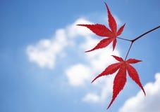 反对天空的红槭叶子 库存照片