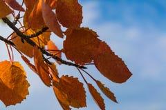 反对天空的红色秋天白杨木叶子 库存照片