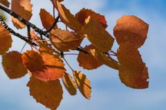 反对天空的红色秋天白杨木叶子 免版税库存图片