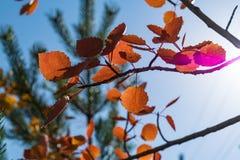 反对天空的红色秋天白杨木叶子 库存图片