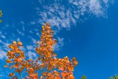 反对天空的红色秋天白杨木叶子 免版税库存照片