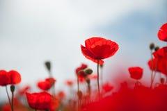 反对天空的红色鸦片花 库存图片