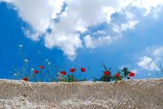 反对天空的红色鸦片花 免版税库存照片