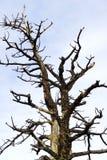反对天空的纯然的树 免版税库存图片