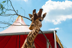 反对天空的英俊的长颈鹿 库存图片