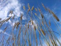 反对天空的草 库存照片