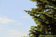 反对天空的蓝色云杉的分支 库存图片