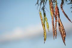 反对天空的豆科灌木豆 库存图片