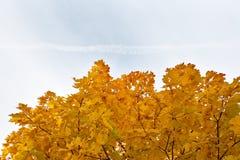 反对天空的金黄秋天槭树平面左边tr 库存图片
